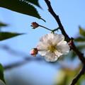 4月の御会式桜(オエシキザクラ)