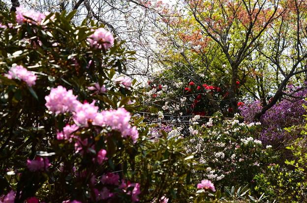 比叡山頂は花盛り~