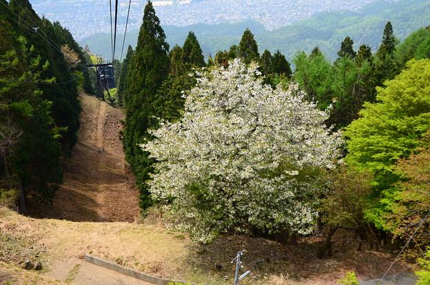 ロープウェイ山頂駅から見る桜