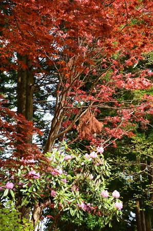 石楠花と春紅葉