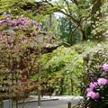 石楠花と三つ葉躑躅と枝垂れ桜