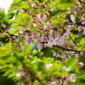 大講堂脇の桜