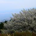 写真: 大島桜の奥の琵琶湖