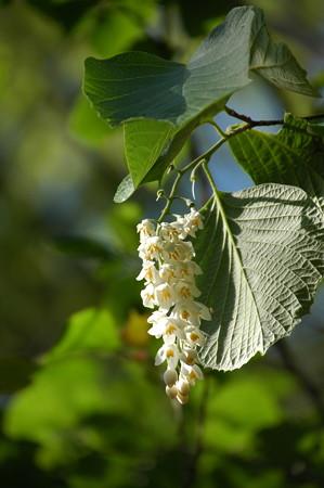 白雲木(ハクウンボク)