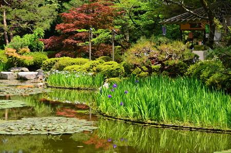 春もみじと杜若の蒼龍池