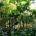 写真: 射干に包まれる祇王寺祇女桜(ギオウジギジョザクラ)