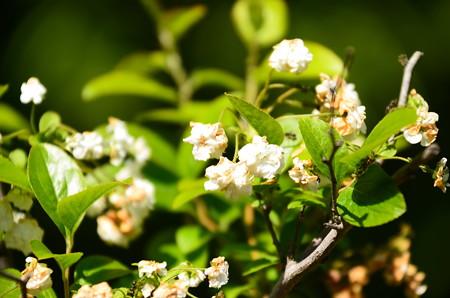 蜆花(シジミバナ)