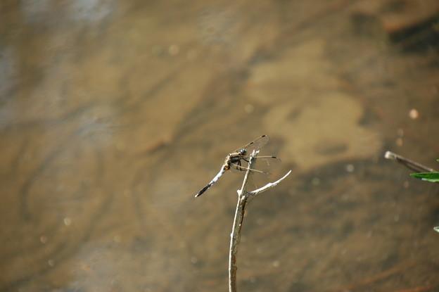今年初めての蜻蛉