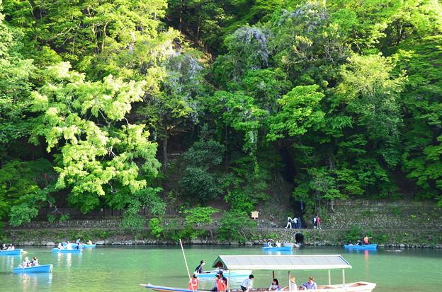 嵐山の山藤(ヤマフジ)