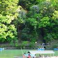 写真: 嵐山の山藤(ヤマフジ)