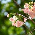 写真: 松月(ショウゲツ)