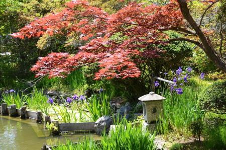春もみじの梅宮神社