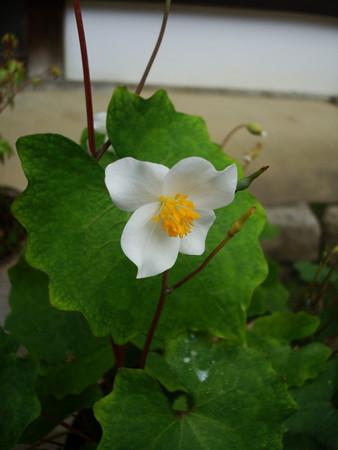 白雪罌粟(シラユキゲシ)