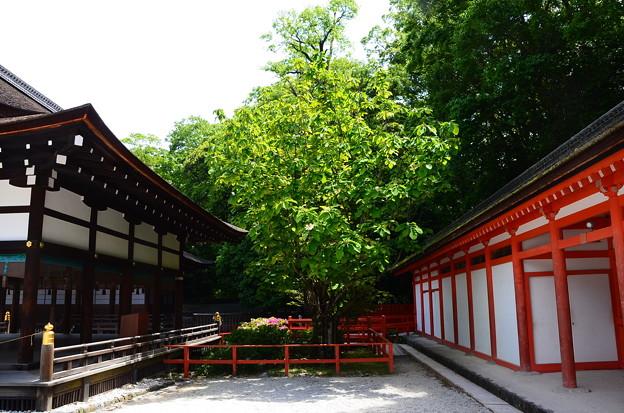 朴の花咲く下鴨神社