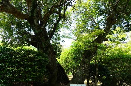 山桃の古木