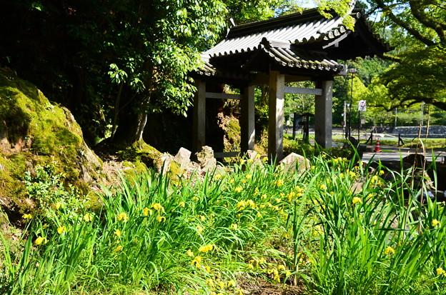 黄菖蒲咲く興聖寺