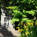 宇治上神社前の黄菖蒲(キショウブ)