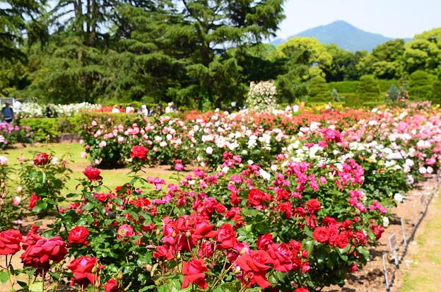 薔薇園と比叡山