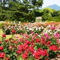 写真: 薔薇園と比叡山