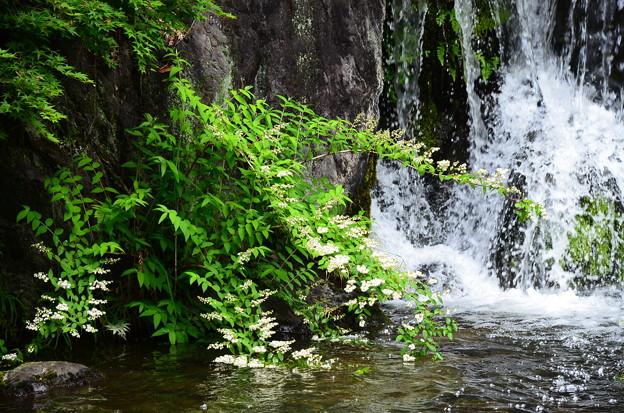 滝脇の空木(ウツギ)