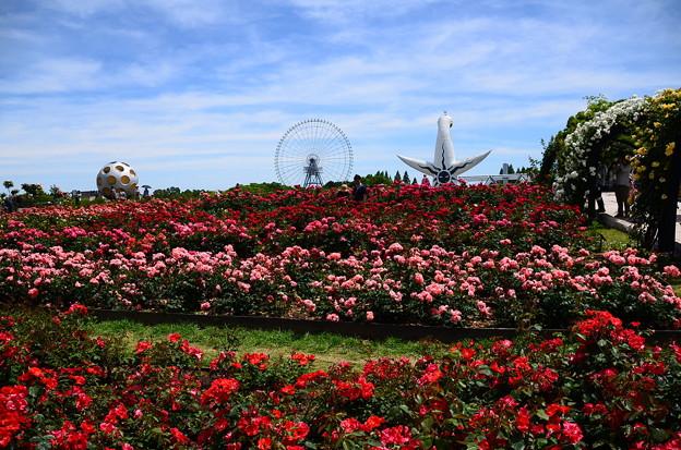 満開の薔薇園