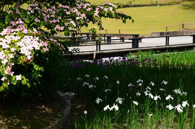 山法師と花菖蒲(春の海)
