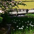 写真: 山法師と花菖蒲(春の海)