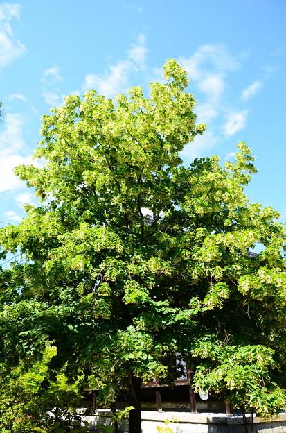 科の木(シナノキ)
