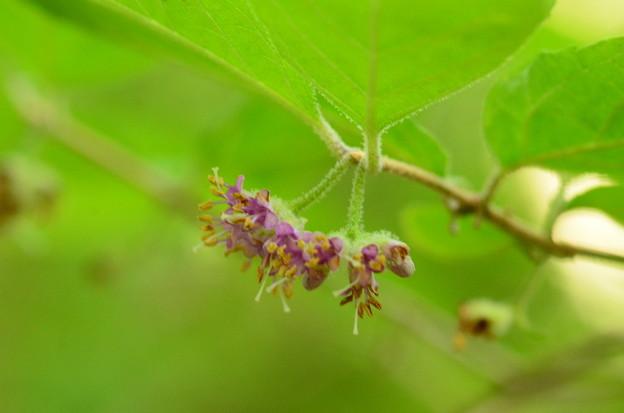 薮紫(ヤブムラサキ)