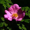 雛山椒薔薇(ヒナサンショウバラ)