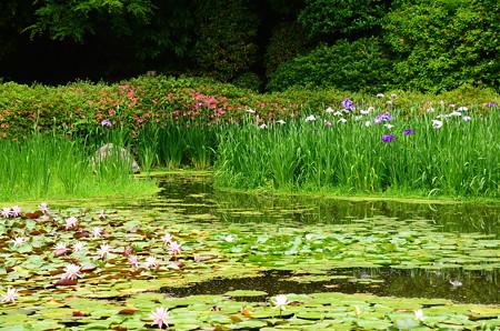 花菖蒲、皐月、睡蓮咲く白虎池