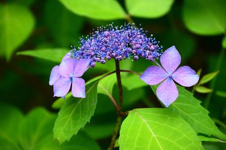 黒姫山紫陽花(クロヒメヤマアジサイ)