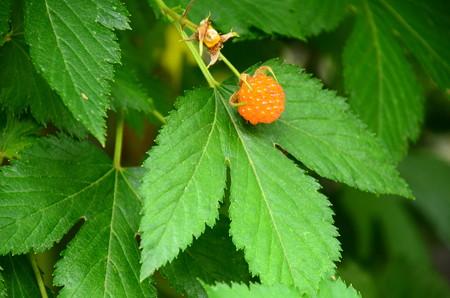 木苺(キイチゴ)