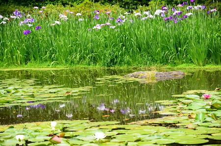 水面の花菖蒲