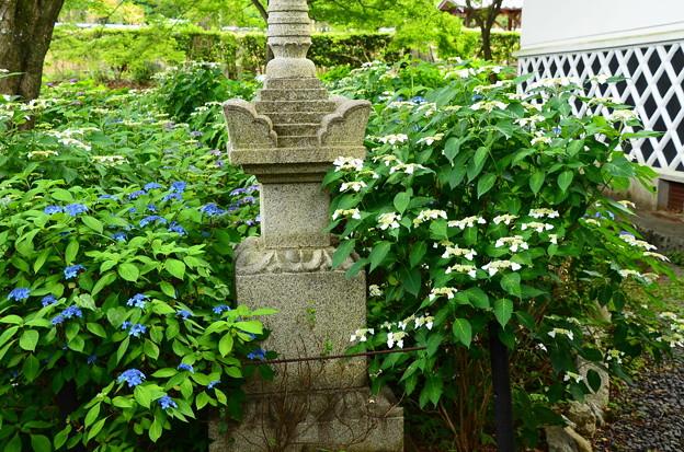 紫陽花園の紫陽花