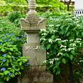 写真: 紫陽花園の紫陽花