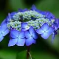 Photos: 青い紫陽花