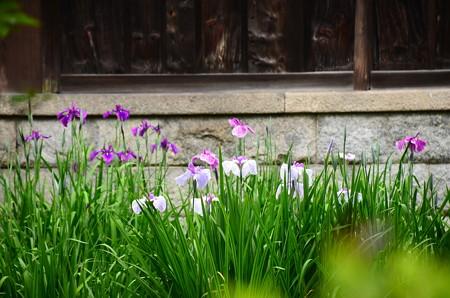 咲き始めた花菖蒲
