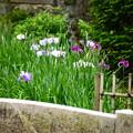 写真: 咲き始めた花菖蒲