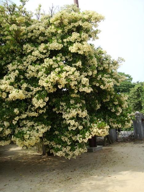 満開の珊瑚樹(サンゴジュ)