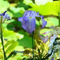 Photos: 花菖蒲と紫陽花