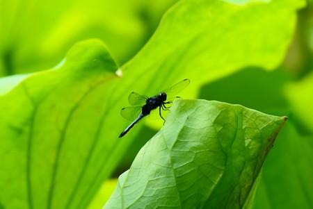 初夏の蜻蛉