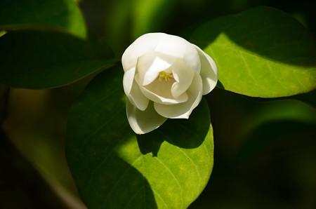 大山蓮華(オオヤマレンゲ)