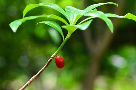胡椒の木(コショウノキ)
