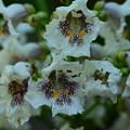 写真: 花木大角豆(ハナキササゲ)