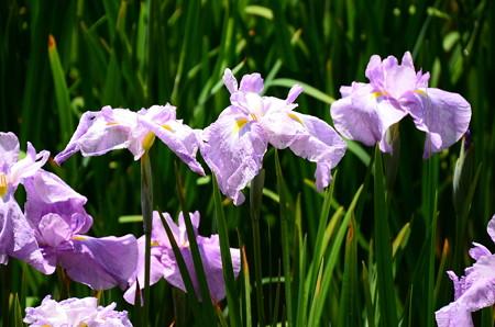 花の雨(ハナノアメ)