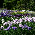 満開の花菖蒲園