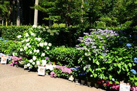 入り口脇の紫陽花