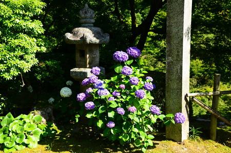 本堂向かいの紫陽花