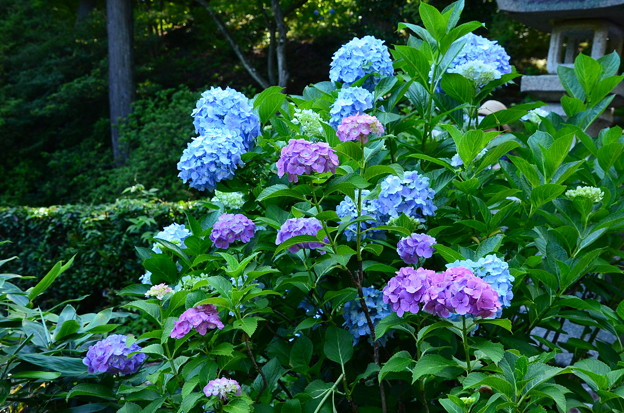 写真: カラフル紫陽花
